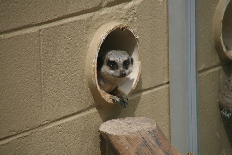 One of the Meerkats peers out of his hole in the wall.