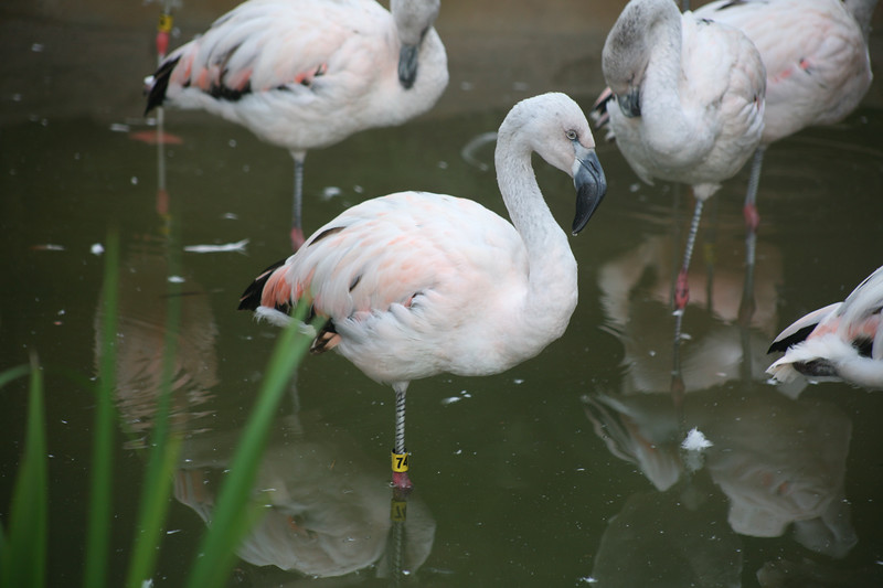 This flamingo must not have had too much shrimp lately (the shrimp makes their feathers turn pink)