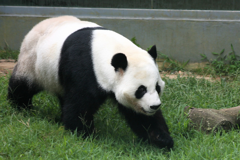 This is the adult-male panda.  He roamed the outdoor pens while mom and the baby were inside.