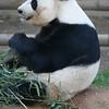 Nom, nom, nom....bamboo.