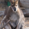 The Wallaby...checking me out.