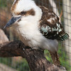 The ground-hopping Kookaburra