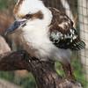 The ground-hopping Kookaburra