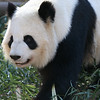 The male panda bear
