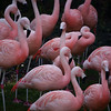 They were washing down the pool area in the Flamingo habitat, so all of the birds were clustered together up on the hill