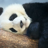 Mei Len, the 1-1/2 year old panda cub, taking a morning snooze
