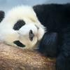 Mei Len, the 1-1/2 year old panda cub, taking a morning snooze