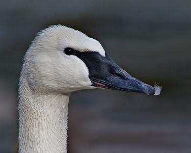 Trumpter Swan Denver Zoo pond