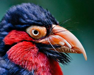 Closeup - Bearded Barbet, Lybius dubius