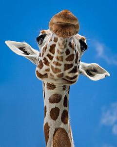 Giraffe - Close Encounter Fossil Rim Wildlife Center, Glen Rose, Texas