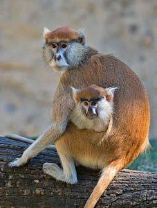 Monkeys peek-a-boo Houston Zoo