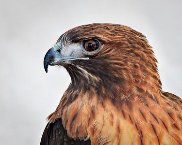 Rehab Redtail Hawk Very large crop