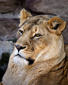 Lion portrait - Fort Worth Zoo