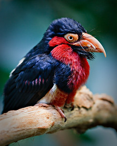 Bearded Barbet, Lybius dubius Member of the Woodpecker family, pounds holes in dead trees Lives in dry forests and savannahs of Western Africa Named for brstly feathers at base of bill Denver Zoo