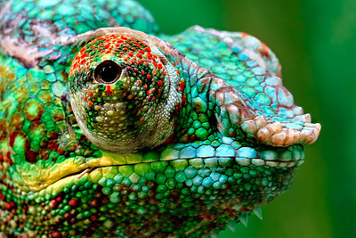 Chameleon - Houston Zoo Reptile House