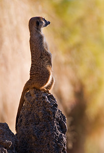 Meerkat sentinal Houston Zoo