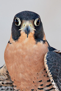 Rehab Falcon Very large crop
