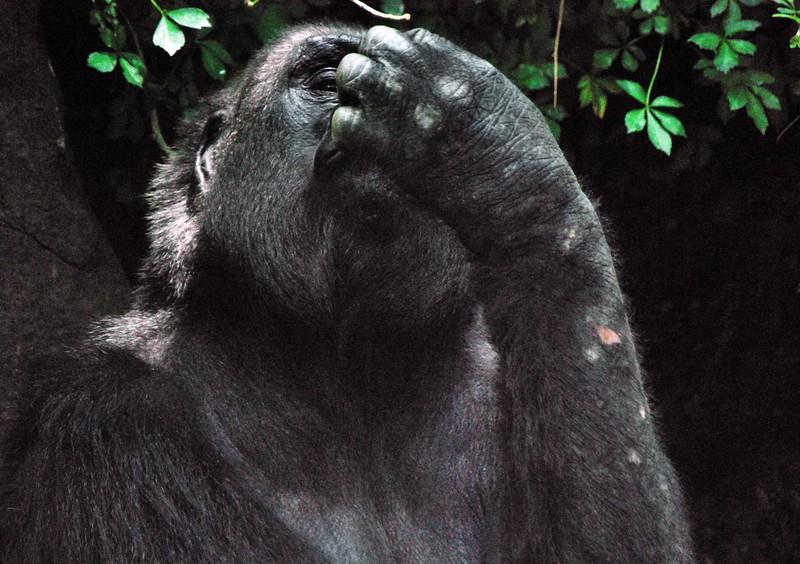 Gorilla-Bronx-Zoo 253-B