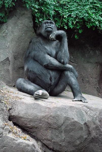 Gorilla-Bronx-Zoo 280-B