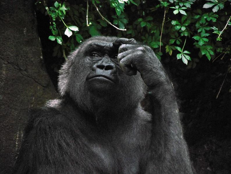 Gorilla-Bronx-Zoo-264-B