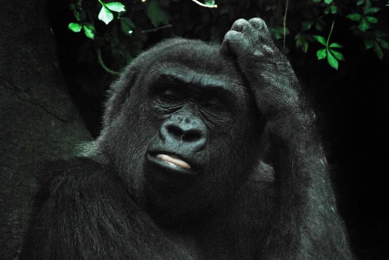 Gorilla-Bronx-Zoo 255-B