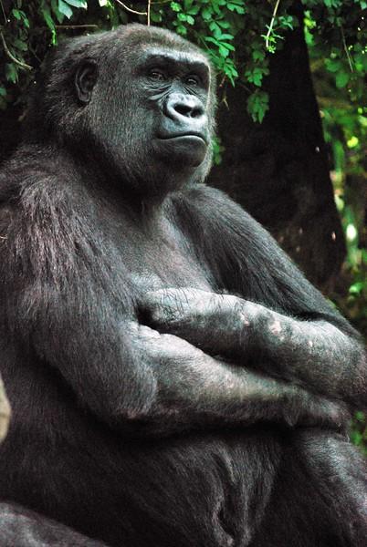 Gorilla-Bronx-Zoo 302-B