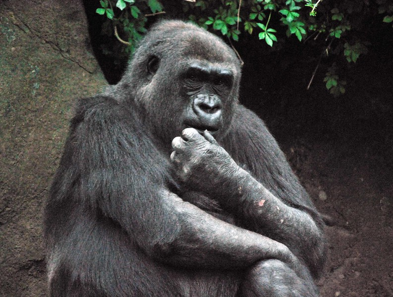 Gorilla-Bronx-Zoo 270-B