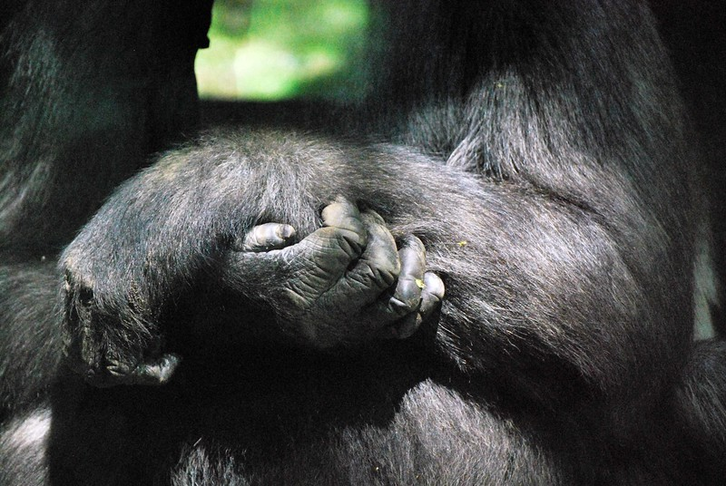 Gorilla-Bronx-Zoo 290-B