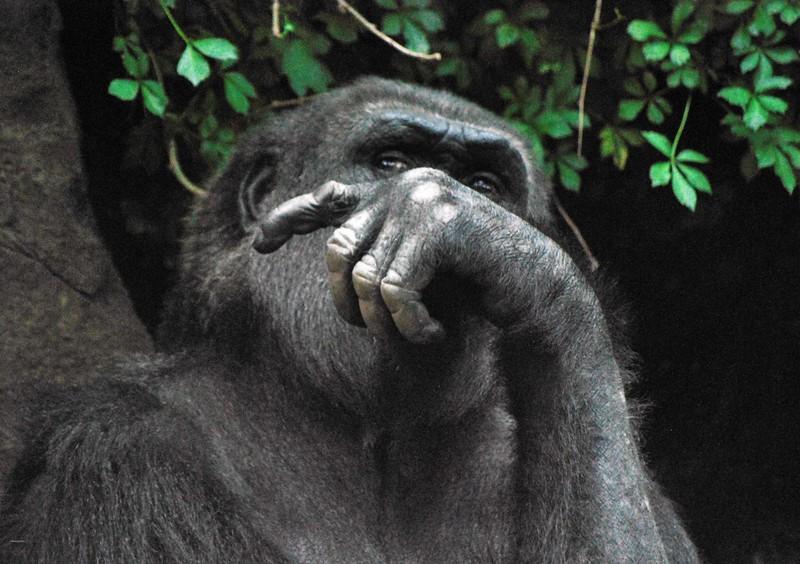 Gorilla-Bronx-Zoo 276-B