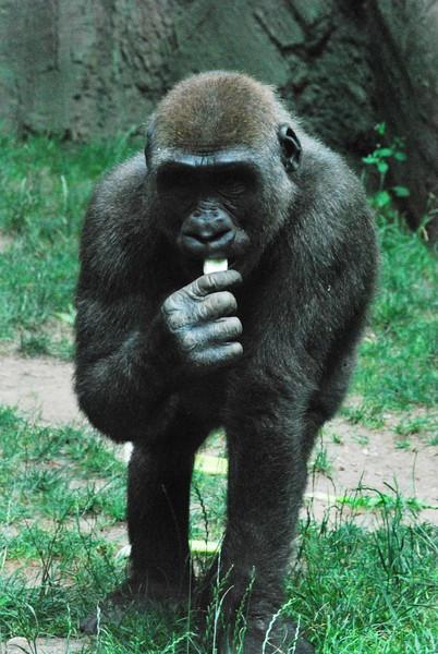 Gorilla-Bronx-Zoo 193-B