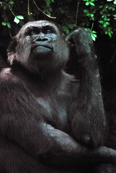 Gorilla-Bronx-Zoo 238-B