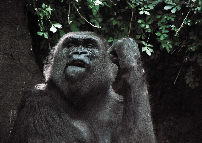 Gorilla-Bronx-Zoo 263-B