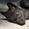 7 week old black wolf pup