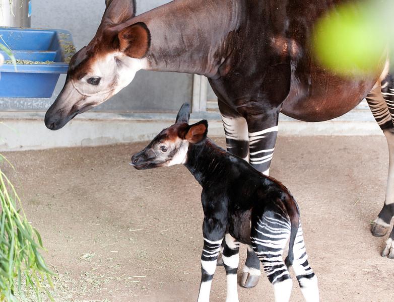 Baby Okapi, born 6/11/2009.