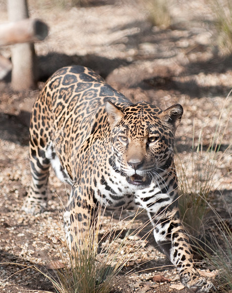 Female Jaguar, 1st minutes in new exhibit at Elephant Odyssey