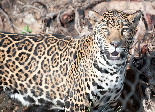 Female Jaguar, 1st minutes in new exhibit at Elephant Odyssey.