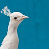 Weißer Pfau (keine Spezies, sondern eine Züchtung des normalen Pfaus)