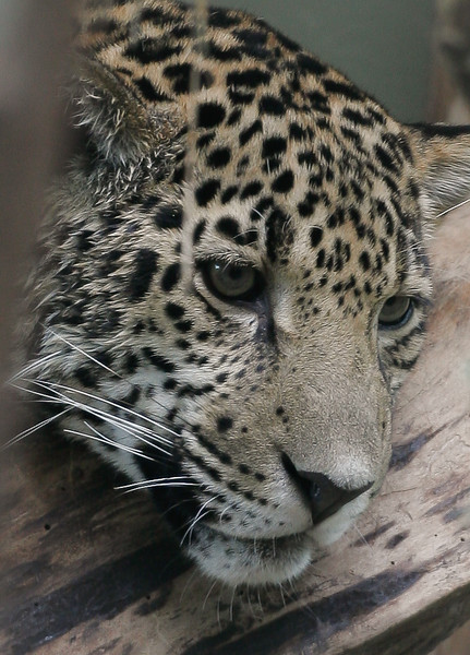 Jaguar, Mesker Park Zoo and Botanic Garden, Evansville, Indiana