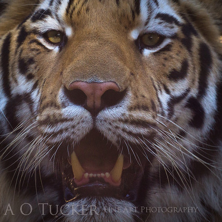 Breath Of The Tiger