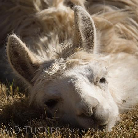 Dreamy Eyed Alpaca