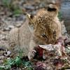 Kleiner Löwe beim Fressen