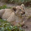 Kleiner Löwe beim Spielen