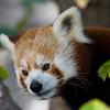 Firefox - Roter Panda