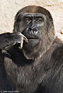 Pensive Gorilla, Detroit Zoo, MI (Captive)