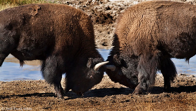 Bison sparring in the Lamar valley, Yellowstone NP