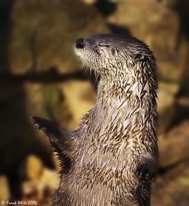 Zen Otter, Brandywine Zoo, DE (Captive)