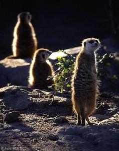 Meerkats, San Diego Zoo, CA (Captive)