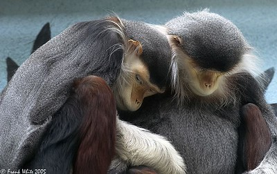 Langurs resting, Philadelphia Zoo PA (Captive)