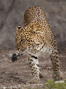 Leopard, taken at Caribbean Gardens Zoo, Naples FL.  (Captive)