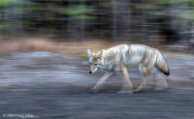 I was driving down a shady back road along the Firehole river in Yellowstone when I saw this coyote come loping up the road. I pulled over and shot out the window as he walked past. I'd forgotten to up the ISO, so I was shooting at 1/8th of a second, but I was panning with him and got lucky. I think the blurred background looks pretty cool!  (tonemapped single raw image). Yellowstone NP, Native.